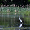 Egrets, as well as Herons are common.