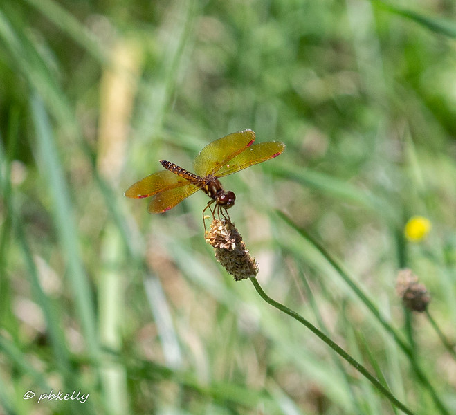 Eastern Amberwing male.