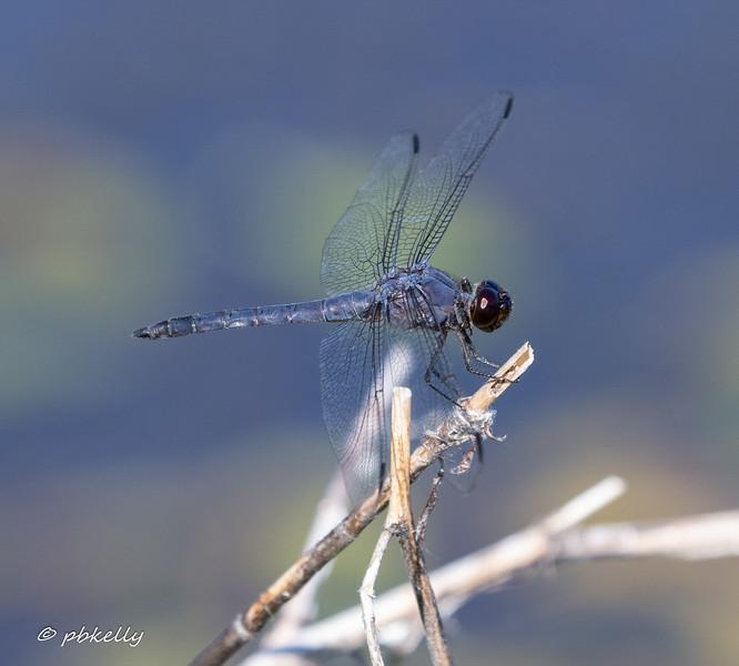 Male Slaty Skimmer.
