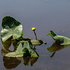 Spatterdock appeared two or three years ago, and is becoming very prevalent in some of the wet areas.