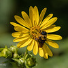 Beautiful Bee.