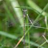 Spreadwing female.