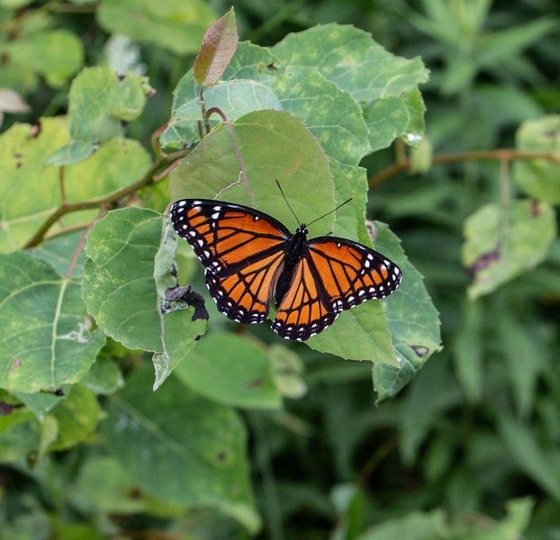 In contrast to all the Monarchs late in the season, this one is a  Viceroy, a Monarch mimic.