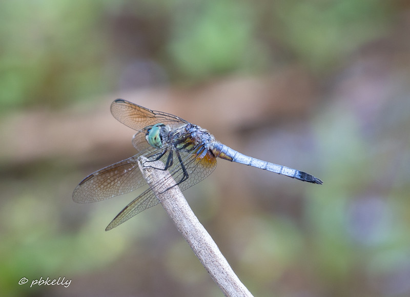 Blue Dasher, extremely common some years.