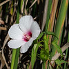 Swamp Mallow started with one plant and has spread into several  wet areas and in several different colors.