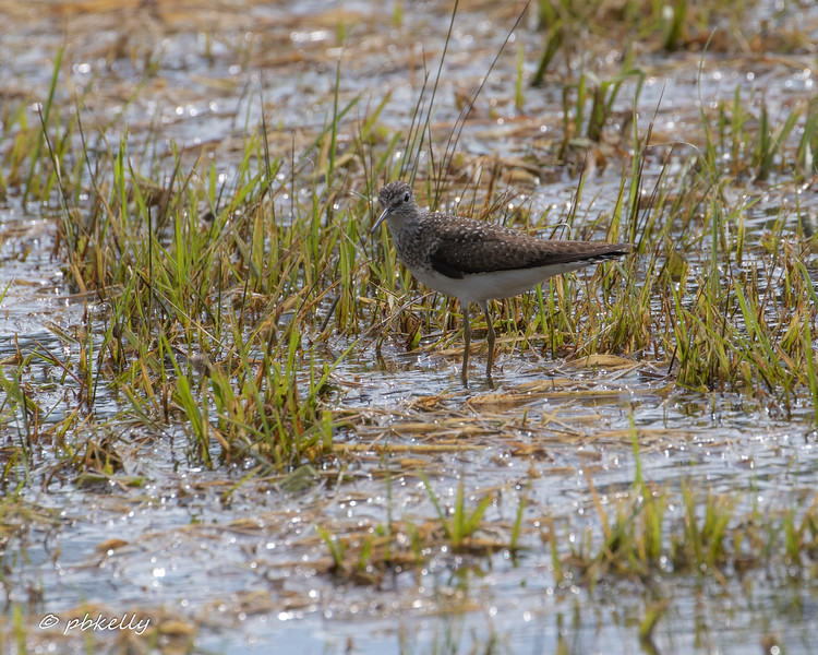 The drainage in the front of the wetland changed, and this Sandpiper took advantage of the opportunity.