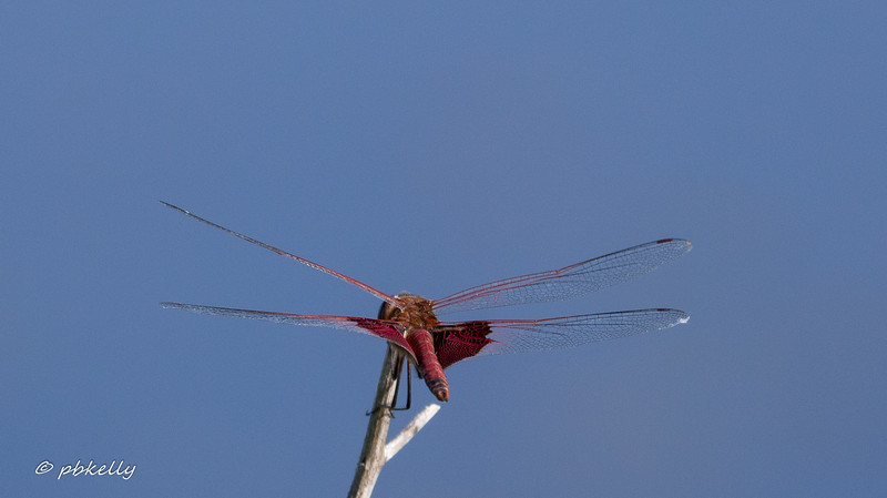 Carolina Saddlebags have a habit of lighting horizontally at about my eye level.  A hard shot for me to get!