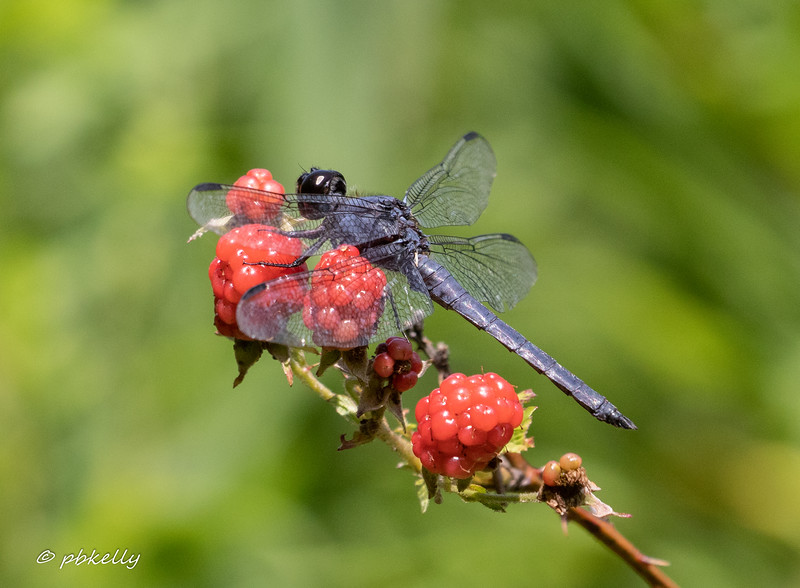 Colorful pose for a Slaty Skimmer male.