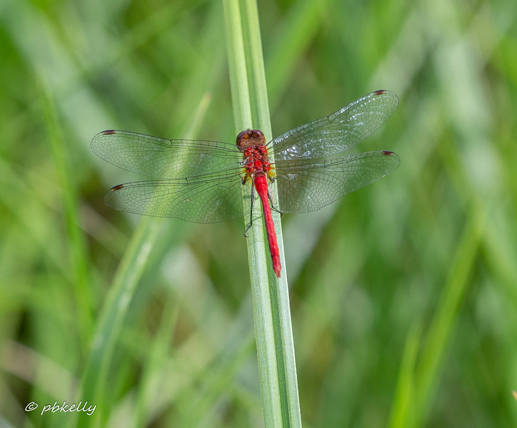 This is one of the brightest Meadowhawks I have ever photographed.
