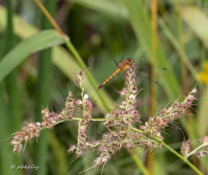 Autumn Meadowhawk.   What I liked was the perch.