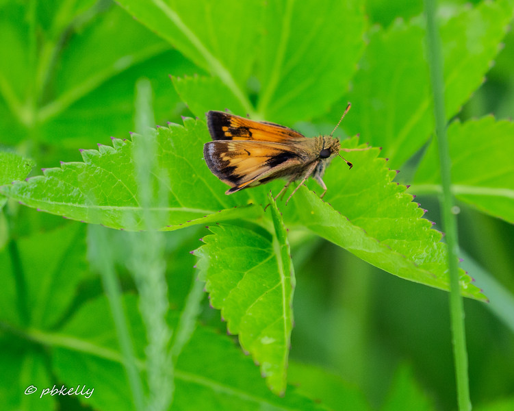 Hobomok Skipper.  I t would be nice to survey the Skippers at Crook Street one year.