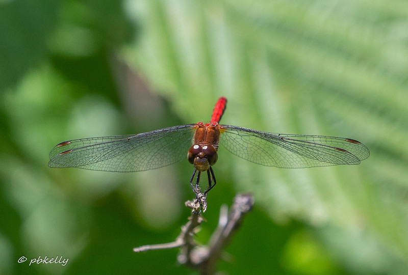 Front view of the Ruby Meadowhawk.