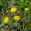 Mouse-ear Hawkweed.  Not sure why it is called that.