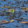 Pondhawks in mating wheel.