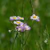 Fleabane is a very common and long blooming plant.  Usually it is much more white than this particular plant.  It's 'pinkness' attracted me.