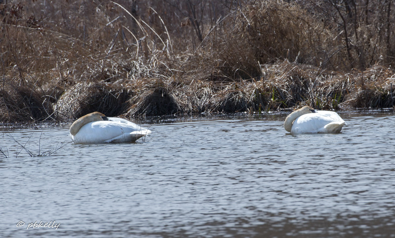 Trumpeter Swans come in occasionally, but haven't nested here so far.