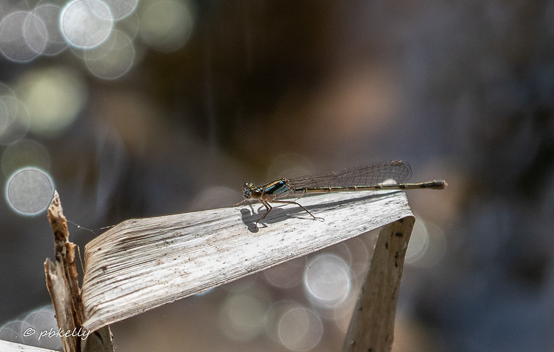 Fragile Forktail, Ishnura posita female.  051519, Crook Street Wetlands.