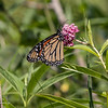 072419.  Monarch Butterfly on Swamp Milkweed.