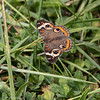 100119.  This was a banner year for the Common Buckeye!