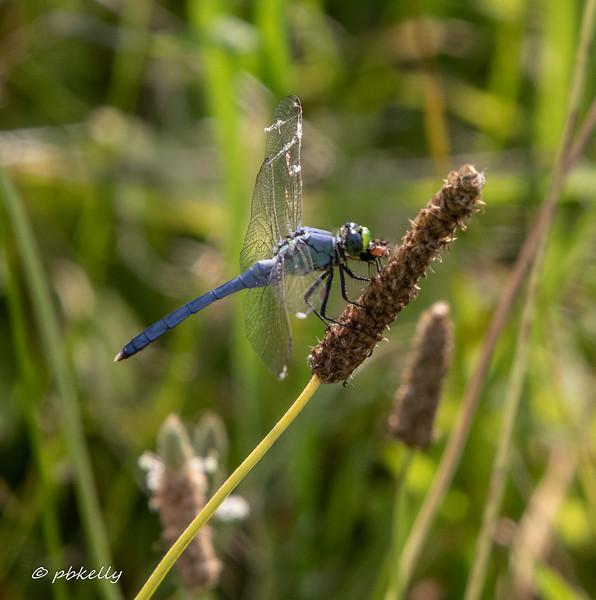 Eastern Pondhawk, Erythemis simplicicolis male.  Chomping away on some prey.  7/26/19, Grafton Ohio.
