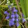 090119.  Giant Lobelia.  I watch for these every year.