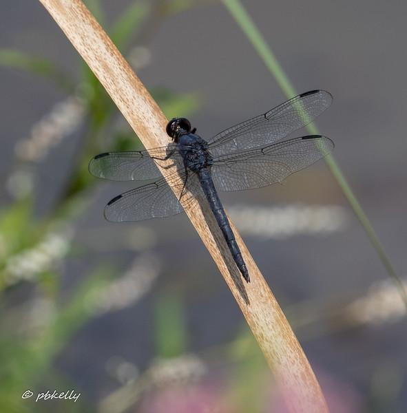0800719.  Slaty Skimmer male.  Libellula incesta.