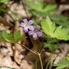 051519.  Wild Geranium