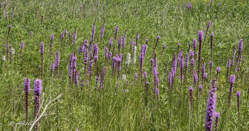 072419.  Liatris, including a few white ones.  The Liatris display here is one of the most spectacular I have seen.