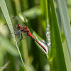 072419.  Another view of a Ruby Meadowhawk.