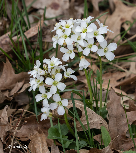 041819.  Spring Cress is now in full bloom.