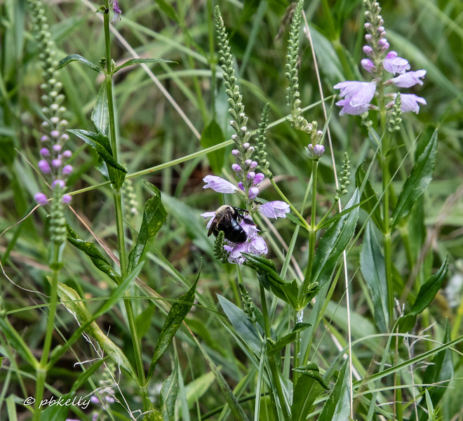 072619.  Obedient plant just starting bloom, but already being sought out by a pollinating Bumble Bee.