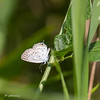 080719.  Tailed Blue Butterfly.