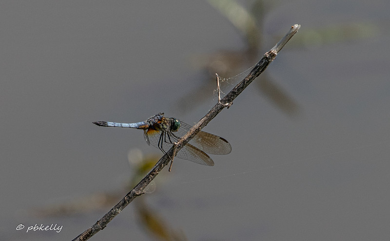 052519.  Blue Dasher, Pachydyplax longipennis.  One of the most common and very beautiful dragonflies.