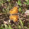060819.  American Painted Lady