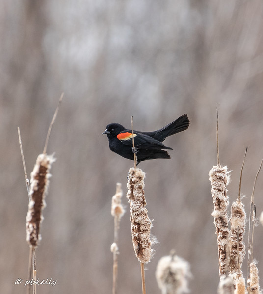 """040719.  """"Thought I heard a Red-winged Blackbird, Red-winged Blackbird down my road."""""""