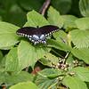 071919.  Spicebush Butterfly.