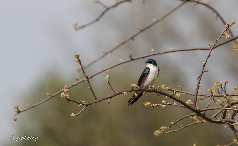 050219.  Another Tree Swallow sitting on a blooming branch.