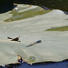060319.  Skimming Bluet, Enallagma geminatum.  The lilypad gives a sense of size.