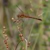Autumn Meadowhawk, Sympetrum vicinum, Crook Street Wetlands, 090119.