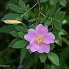070419.  Swamp Rose.