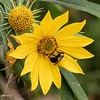 090119.  One of the wild sunflower types with pollinator.