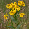 090119.  Sneezeweed, a favorite with some pollinators and moths, has not been common in the last few years.