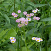 060819.  Fleabane is still blooming.
