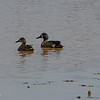 Blue-winged Teal, a usual visitor. 040620