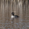Cute little Bufflehead, another occasional visitor.  040820