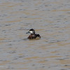 Ruddy Duck, one of my favorite transients here.  040120