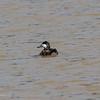 Ruddy Duck, one of my favorite transients here.  040120
