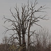 This looks like it should be Halloween, not April.  Turkey Vultures in a dead tree. 042320