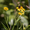 Sneezeweed.  There are only a few patches at CSW, but I look for them every year.  They attract many pollinators 082020.