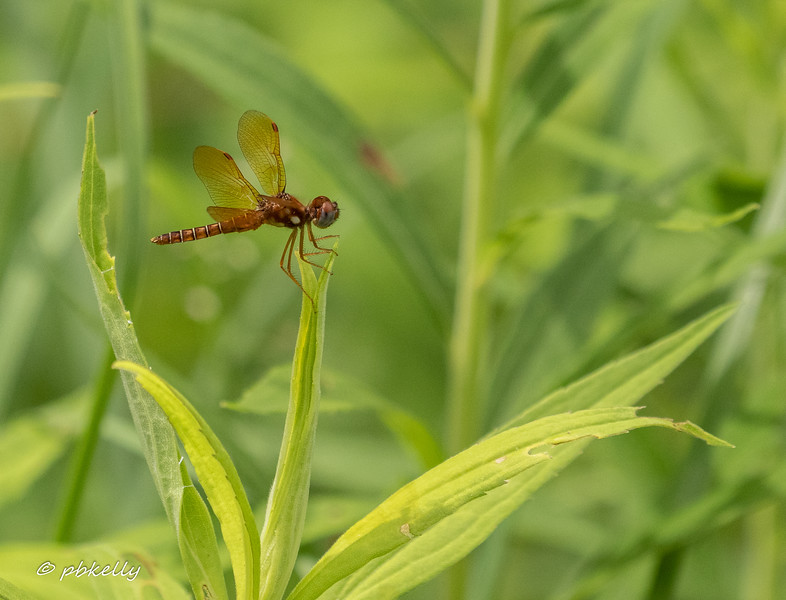 Eastern Amberwing male.  062620